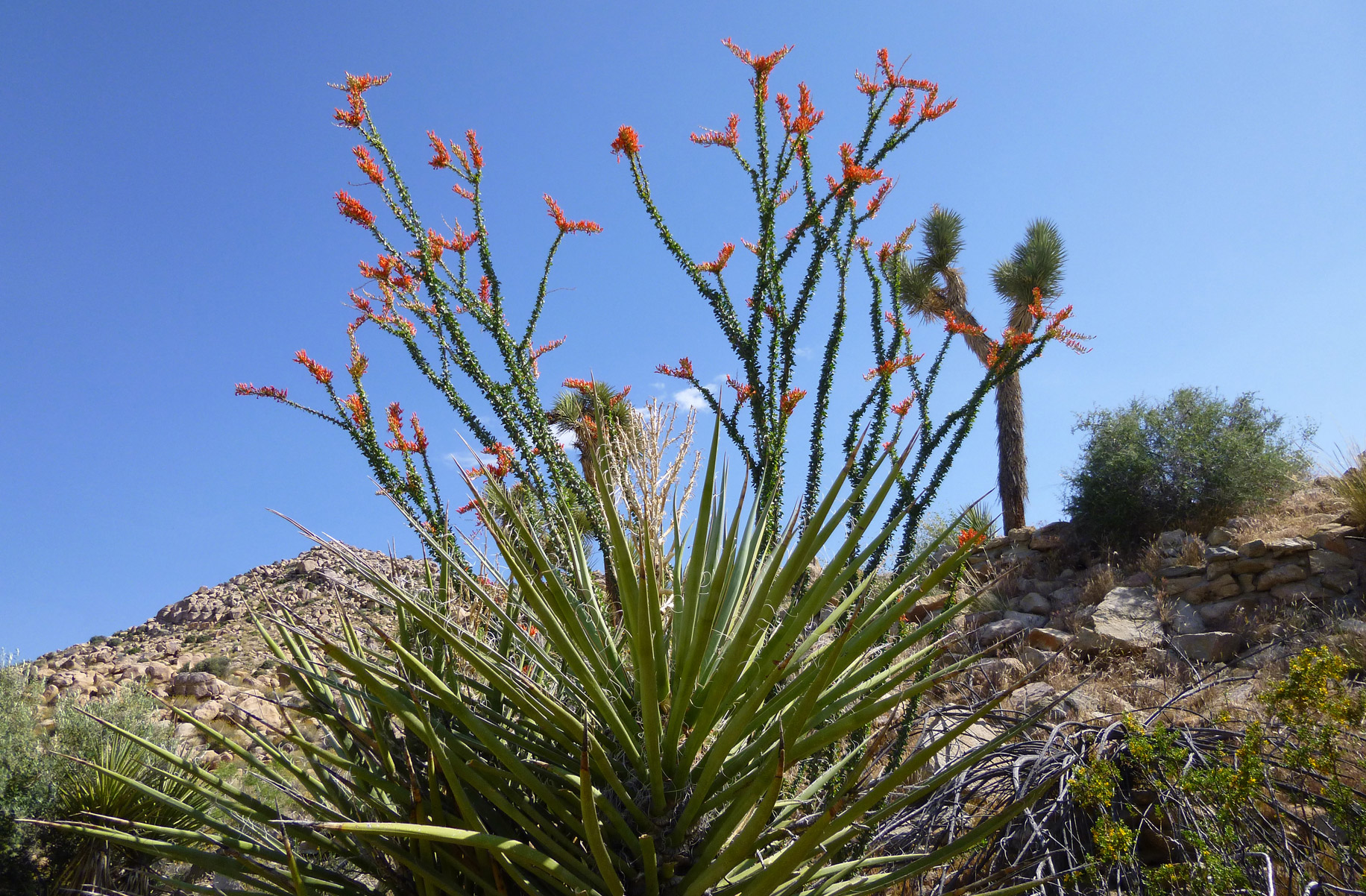 Ocotillo flowers in Joshua Tree, CA.